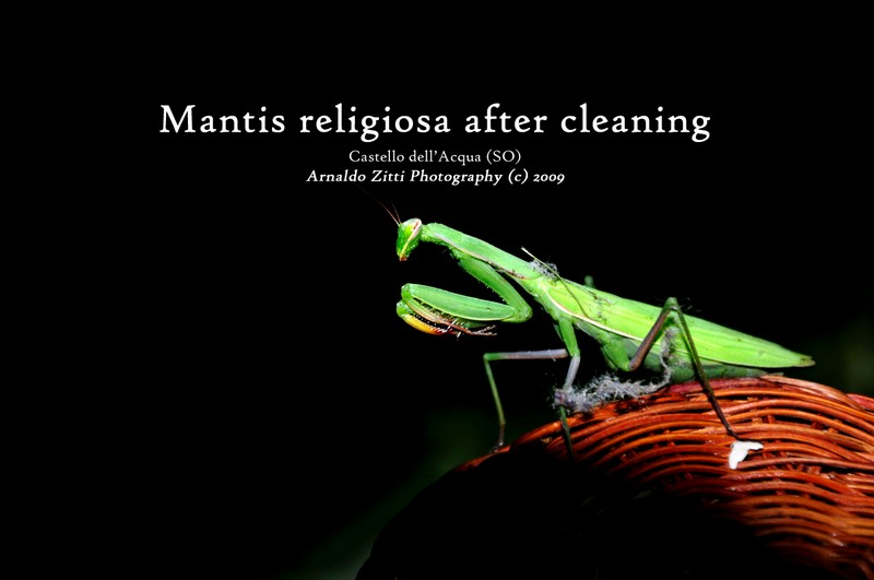 Mantis religiosa after cleaning