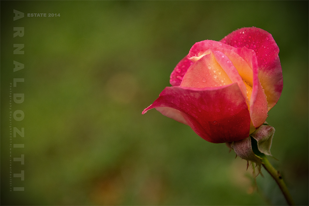 Rose di montagna