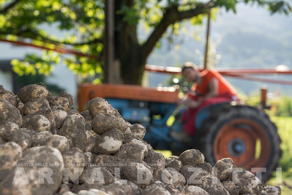 Raccolta delle patate 2014